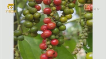 柬埔寨胡椒和香料欲打入中东市场